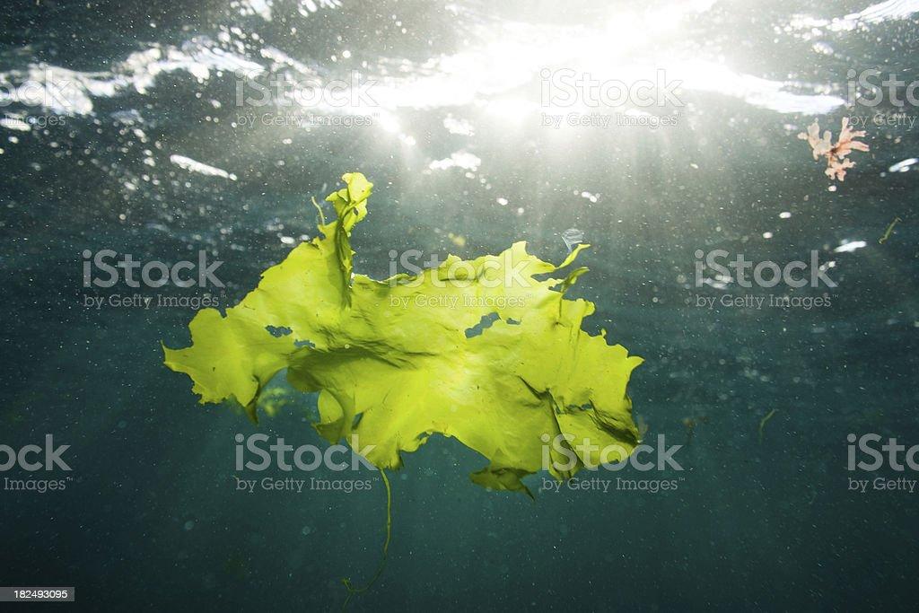 Backlit green seaweed floating underwater in the sea royalty-free stock photo