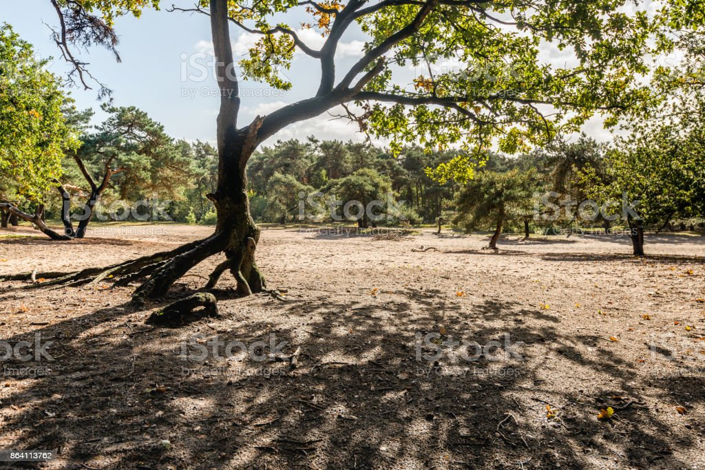 Backlit image of a scots pine tree in a sandy area royalty-free stock photo