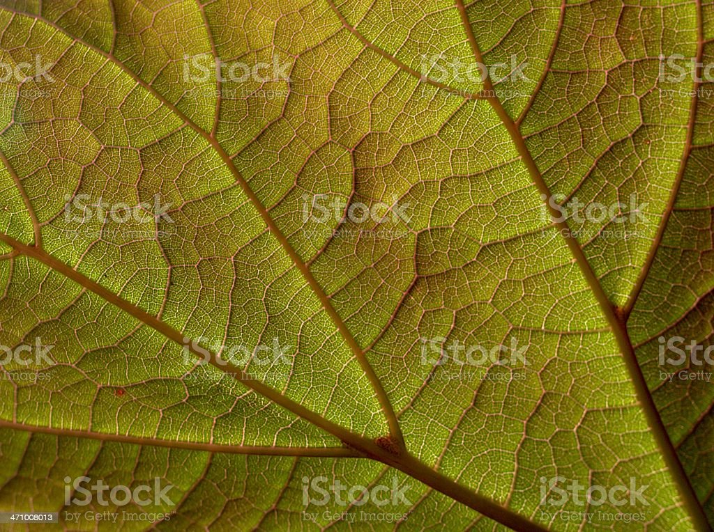 Backlit indian bean tree leaf royalty-free stock photo