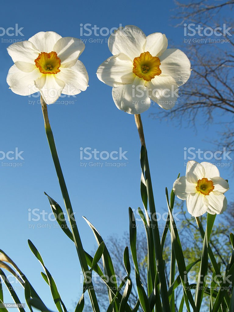 Back-lit Jonquils Reaching Skyward in Pennsylvania Spring stock photo