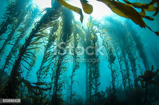 This photo was taken deep in a Central California Kelp forest on a crystal clear day. Huge columns of Giant Kelp reach for the sunlight on the surface