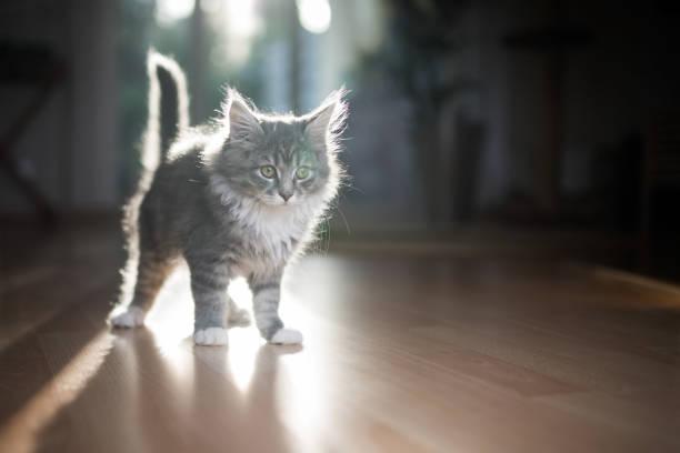 hinterleuchtete kätzchen - grau getigerte katzen stock-fotos und bilder