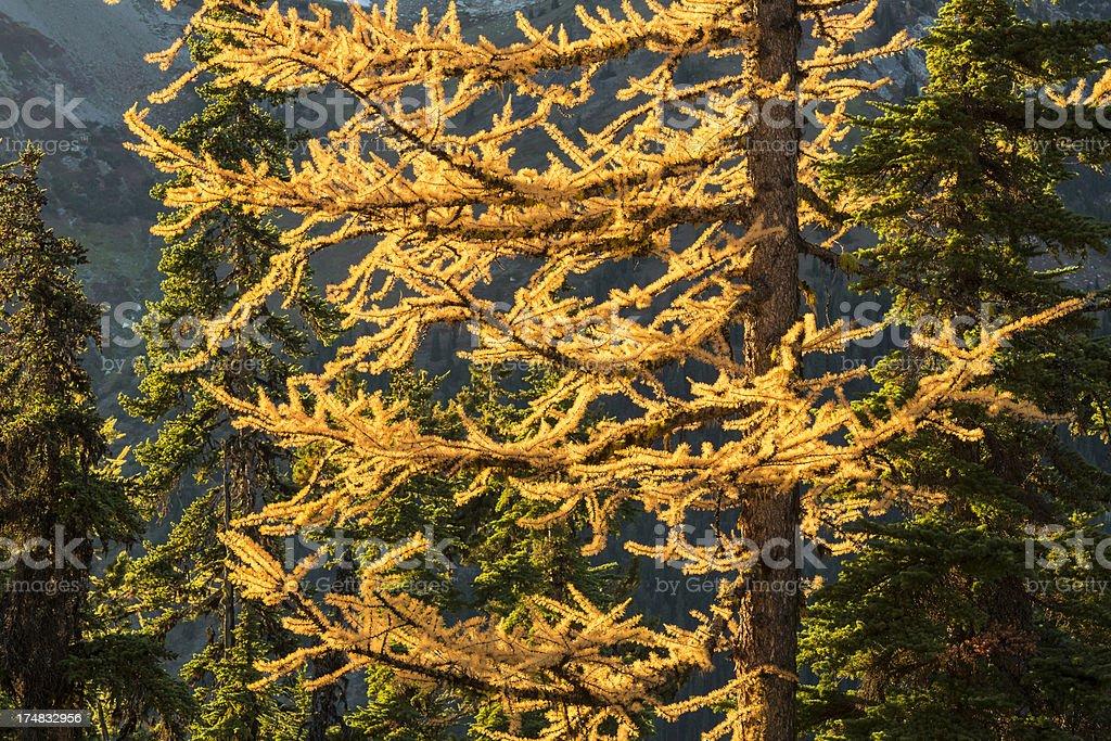 Backlit Larch Tree royalty-free stock photo