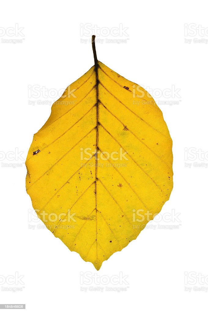 Backlit Leaf of beech royalty-free stock photo