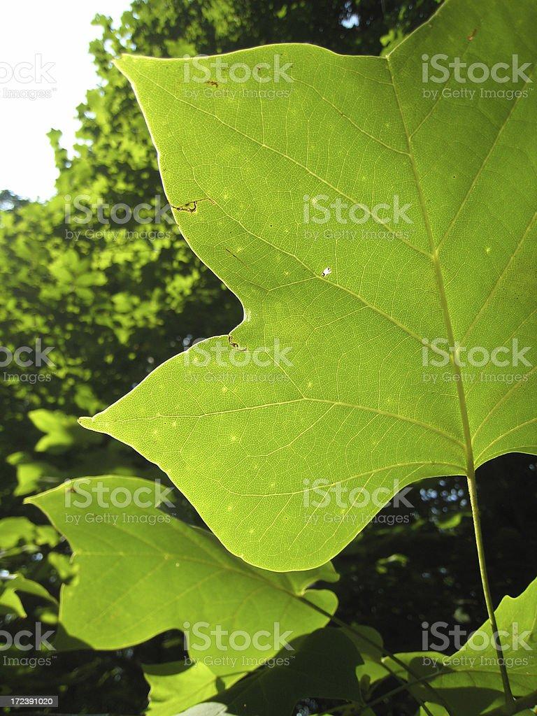 Backlit Leaf royalty-free stock photo