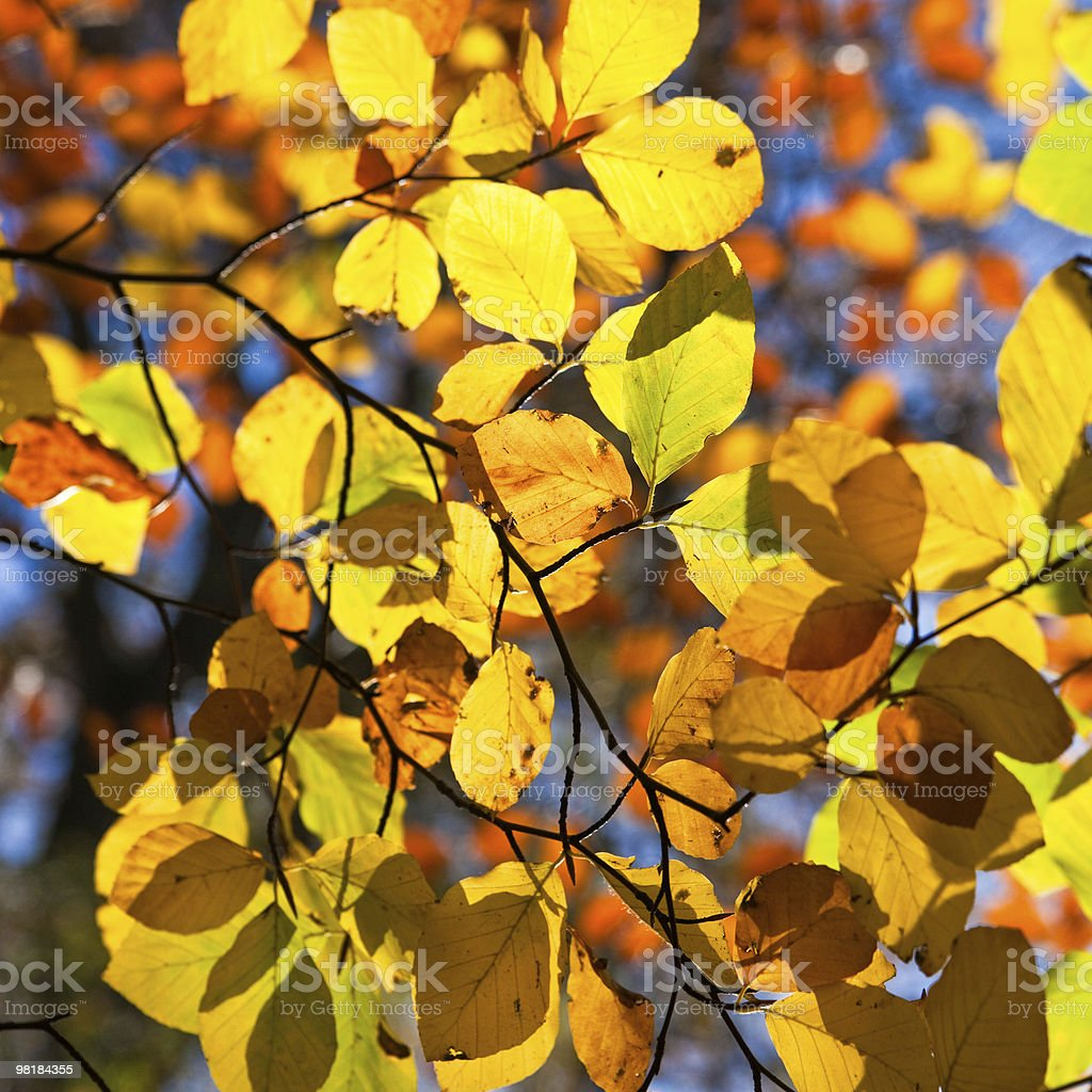 Backlit leaves on a tree in autumn royalty-free stock photo