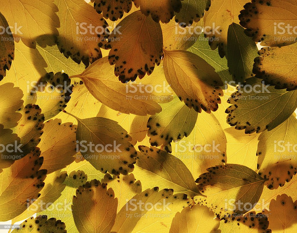 backlit leaves royalty-free stock photo