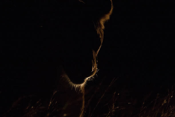 Backlit lioness picture id1068036330?b=1&k=6&m=1068036330&s=612x612&w=0&h=fwvdi4lhwuz5m4dn y 7oqd6u wb z8lv547qsw8xbs=