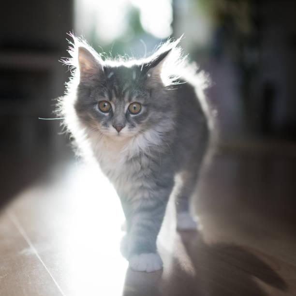 hinterleuchtete langhaar-kitten - grau getigerte katzen stock-fotos und bilder
