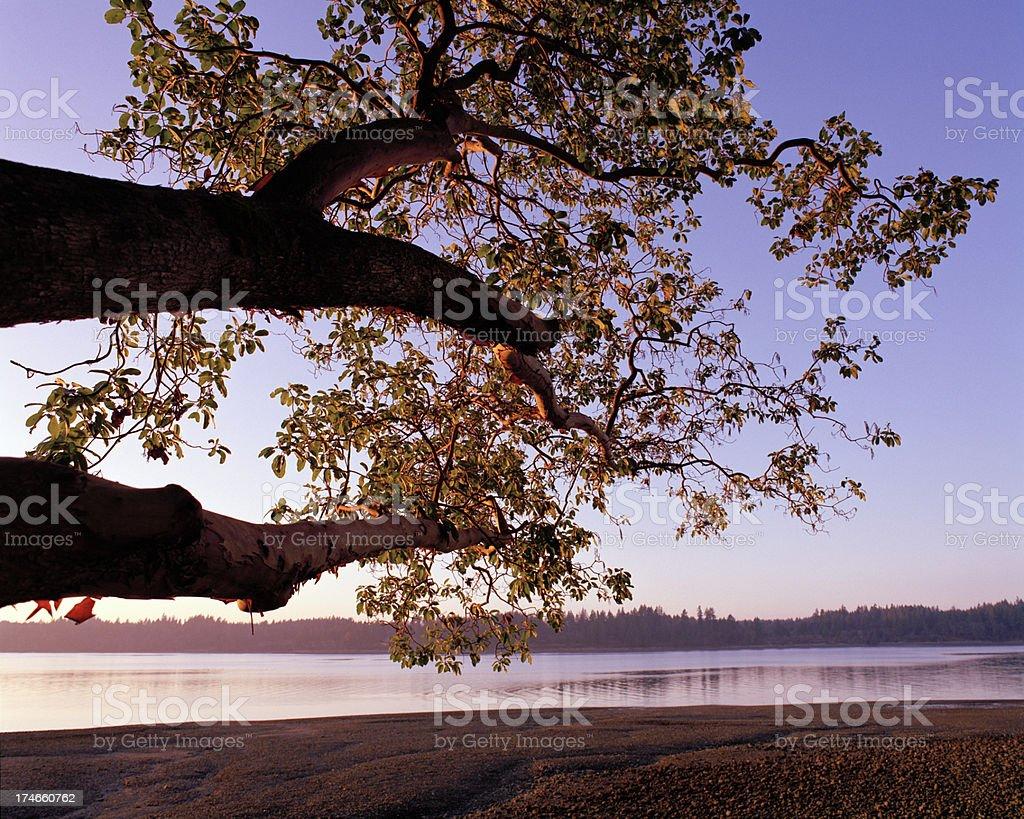 Backlit Madrona, Puget Sound, Washington stock photo