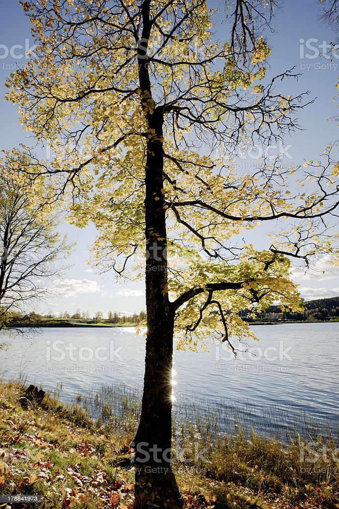 Backlit maple tree in fall. royalty-free stock photo
