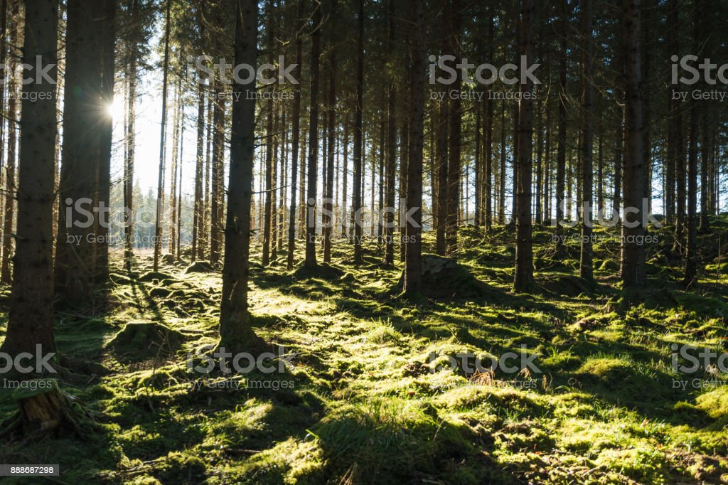 Backlit mossy forest stock photo