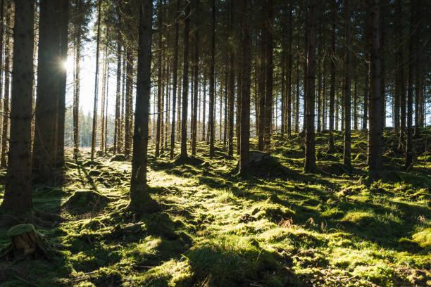 백라이트 이끼 숲 - 목재 공업 뉴스 사진 이미지