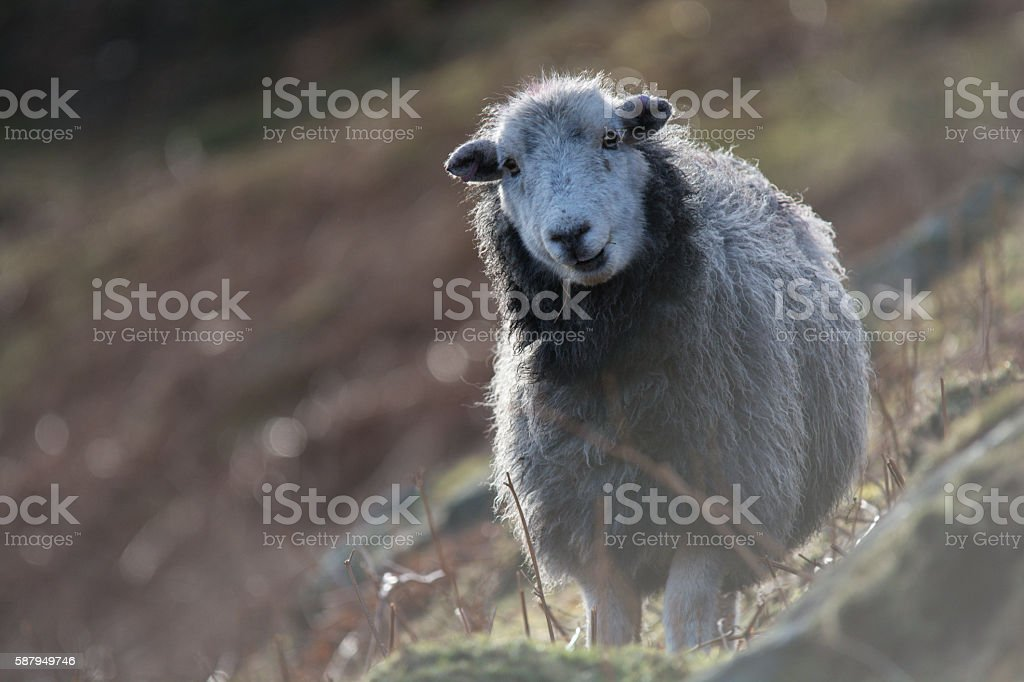 Backlit mountain sheep in The Lake District stock photo