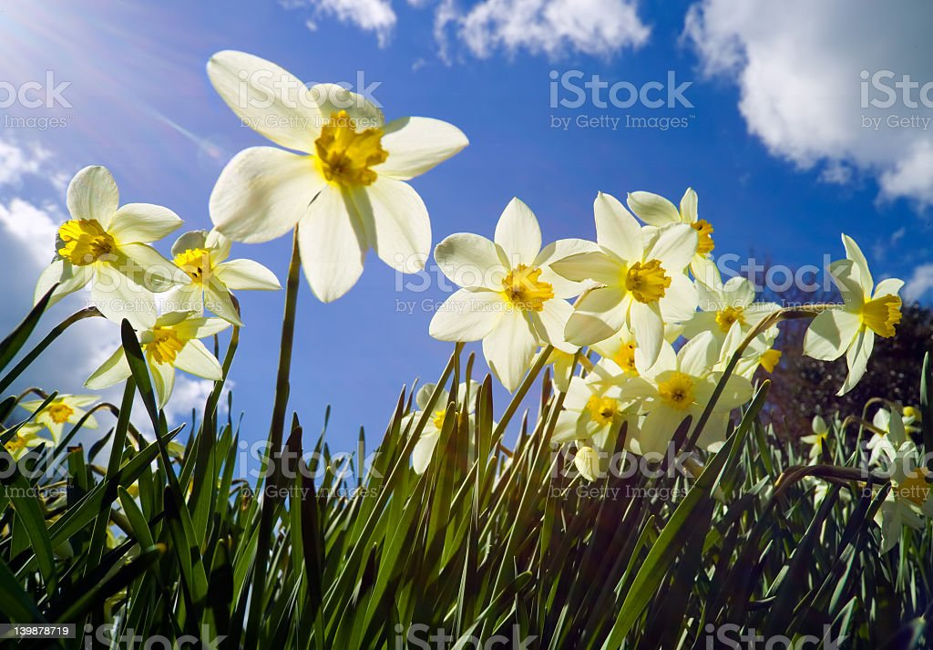 Backlit narcissus with sun flare royalty-free stock photo