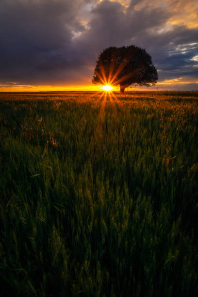 Backlit oak tree in a wheat grain field at sunrise sunset with dramatic clouds in the sky stock photo