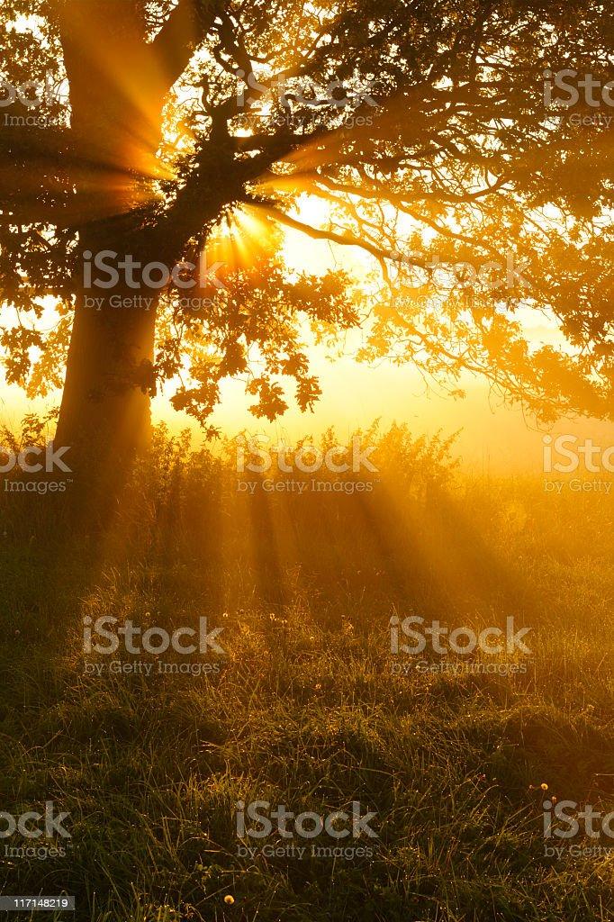 Beleuchtete Eiche in Morgen Nebel auf der Wiese im Sonnenaufgang – Foto