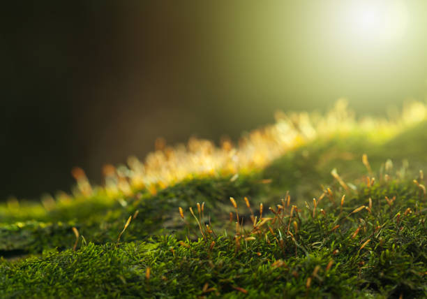 Backlit of mossy hummock stock photo