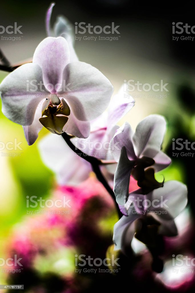Backlit orchid royalty-free stock photo