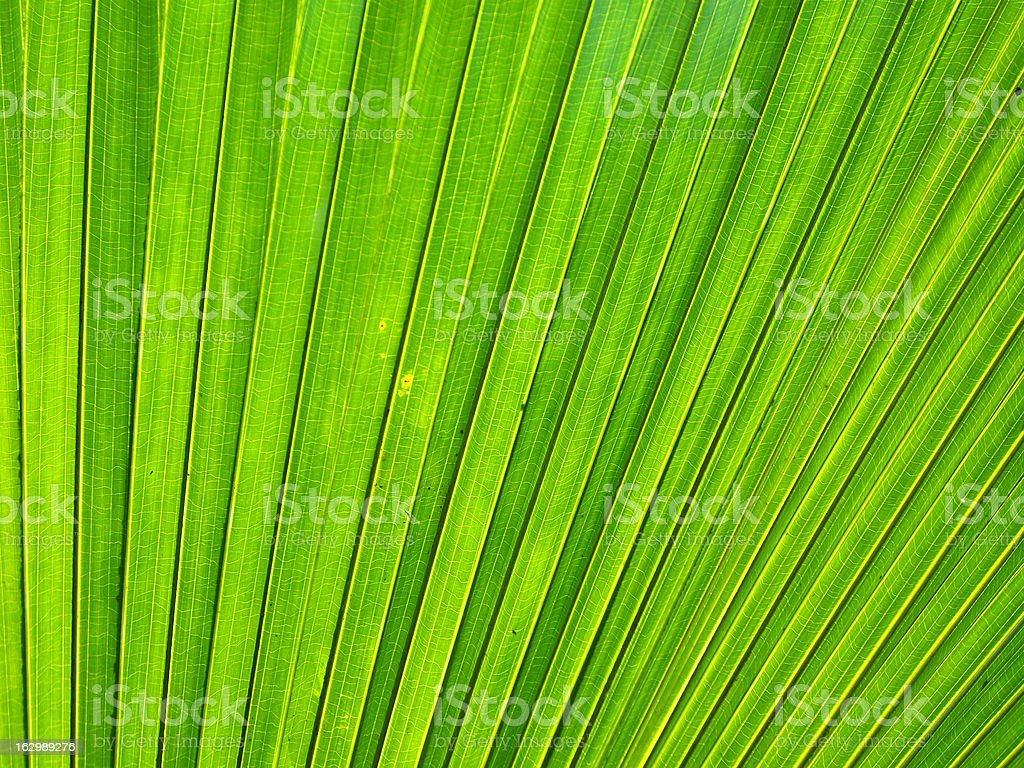 Backlit palm tree leaf royalty-free stock photo