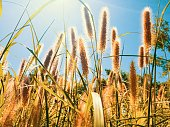 Backlit photo of feather pennisetum, mission grass and soft sunlight in the setting sun