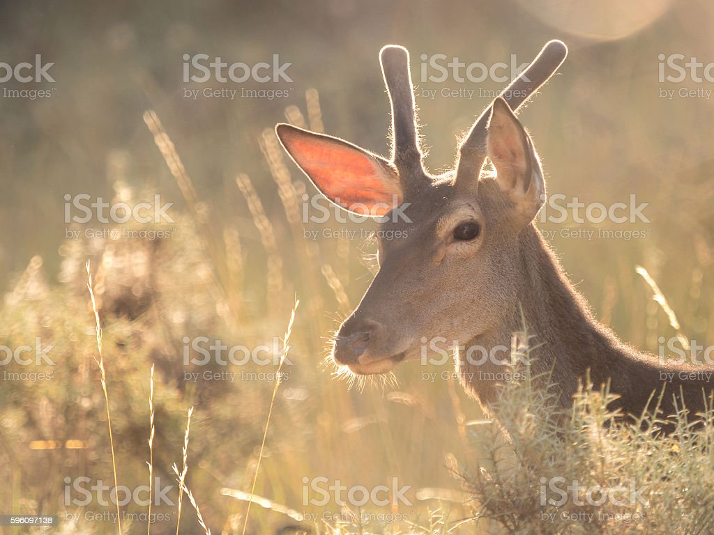 Backlit profile of a red deer Cervus elaphus (artistic picture) royalty-free stock photo