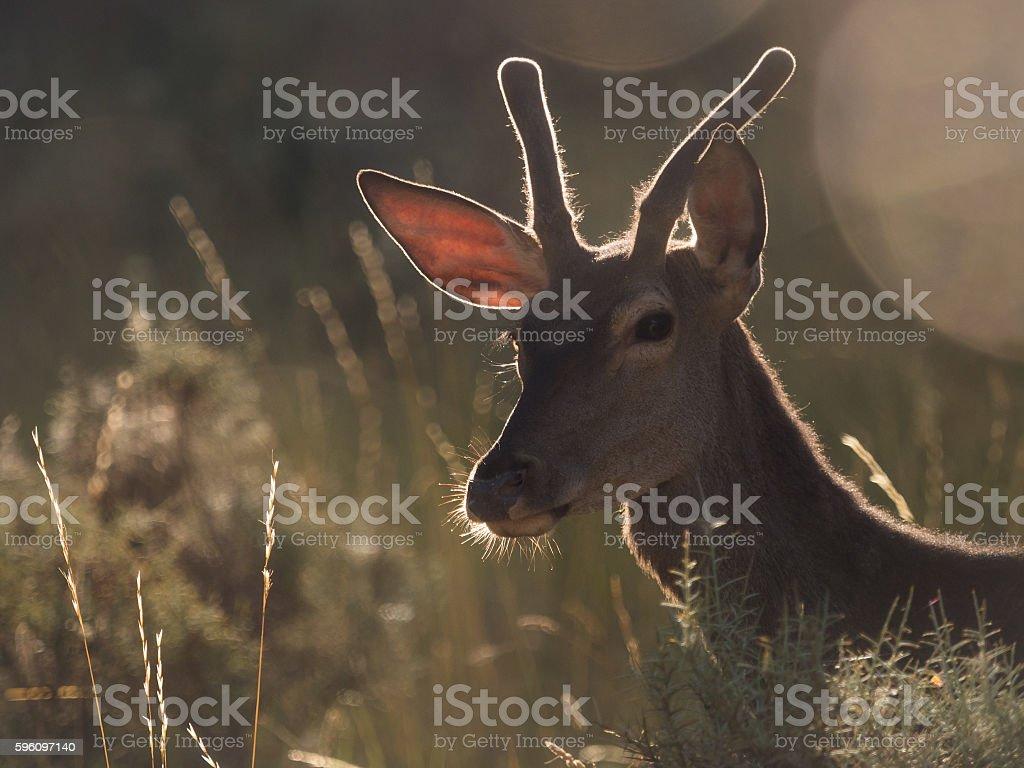 Backlit profile of a red deer Cervus elaphus (artistic picture) Lizenzfreies stock-foto