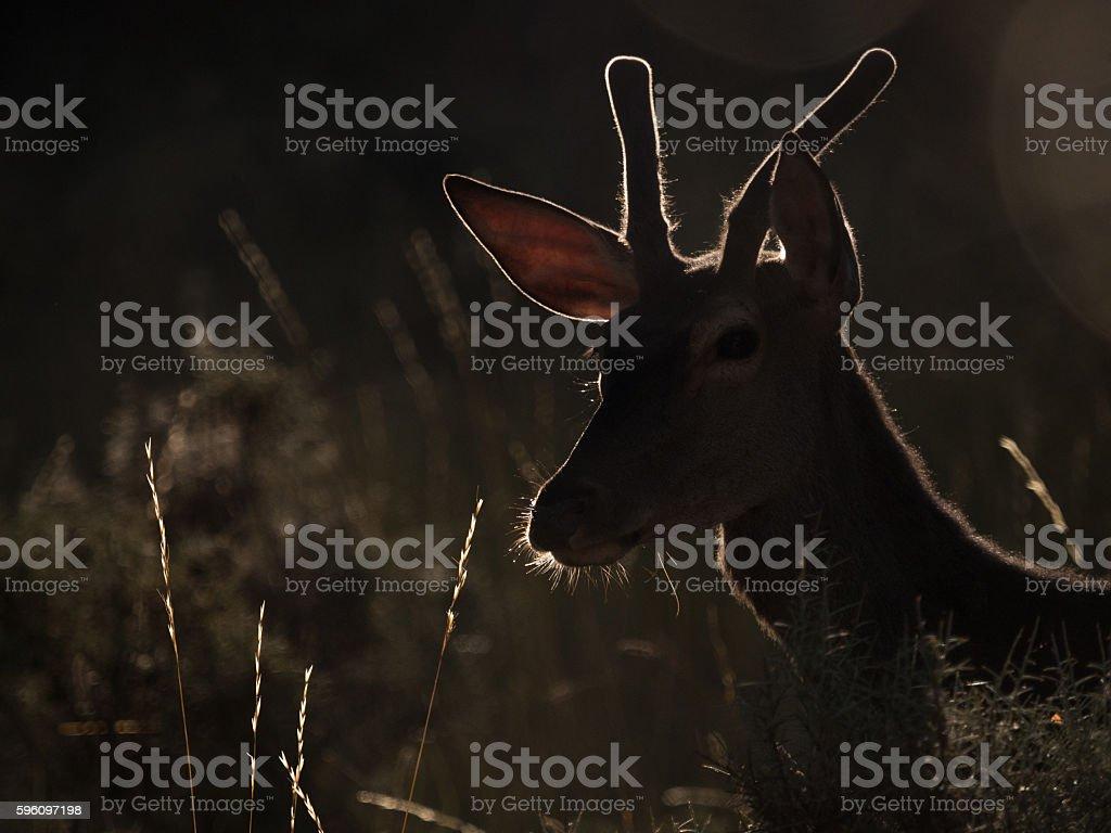 Backlit profile of a red deer Cervus elaphus (artistic picture) royalty-free stock photo