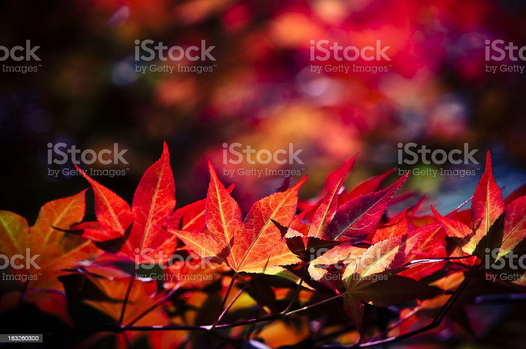 Backlit red maple tree leaves stock photo