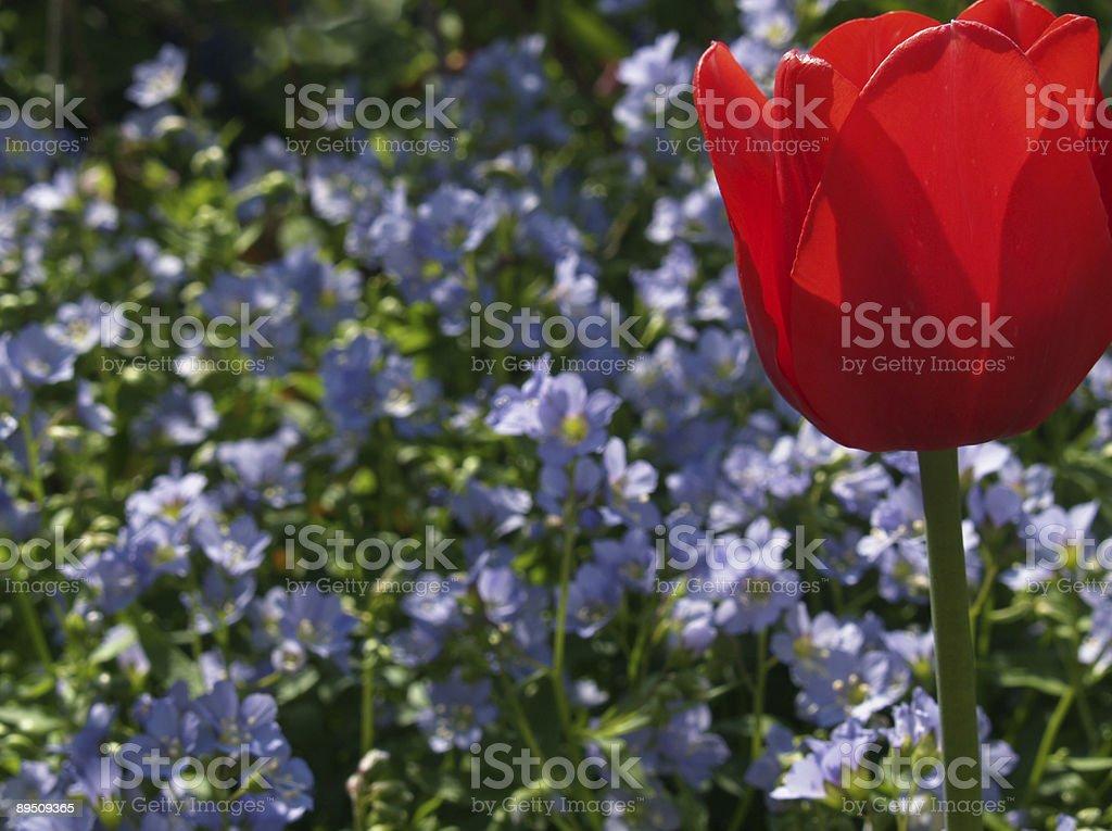 Back-lit Red Tulip with Jacob's Ladder (Polemonium) stock photo