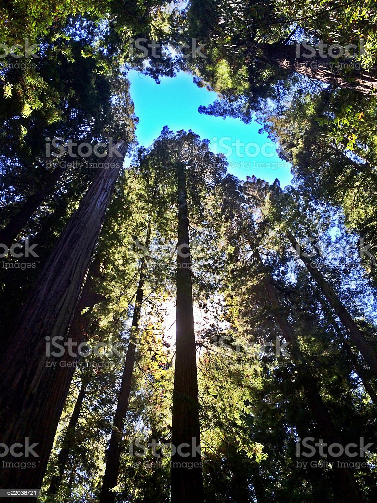 Backlit Redwood Grove stock photo