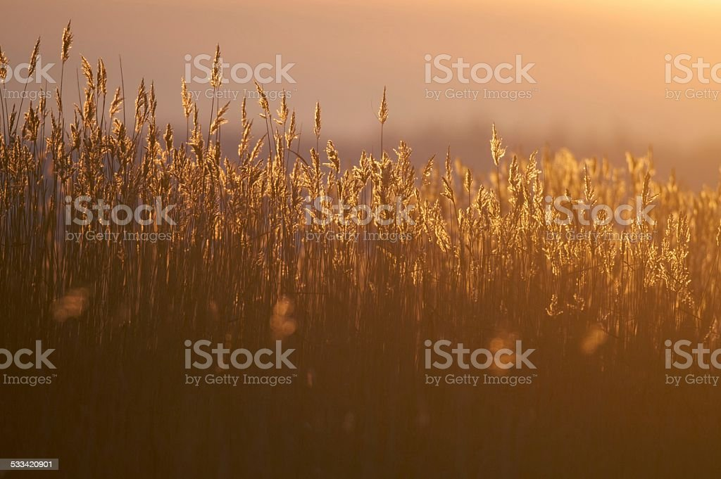Backlit reeds stock photo