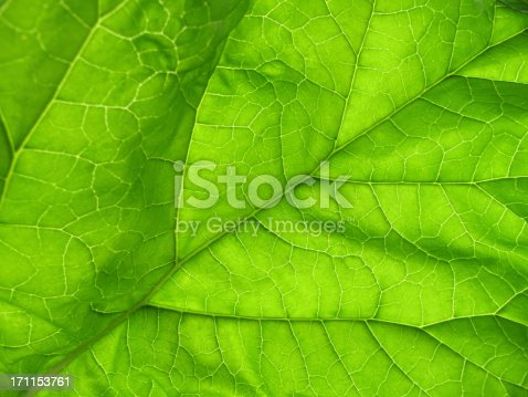 Close-up of a large, backlit green rhubarb leaf