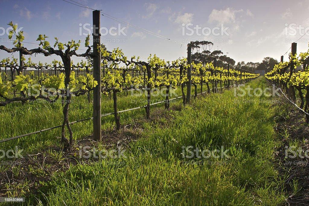 Backlit Sangiovese vines stock photo