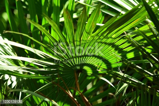 Saw Palmetto with bright green backlit frond and shadows. Photo taken at Morningside nature Center in Gainesville, Florida. Nikon D750 with Venus Laowa 15mm macro lens