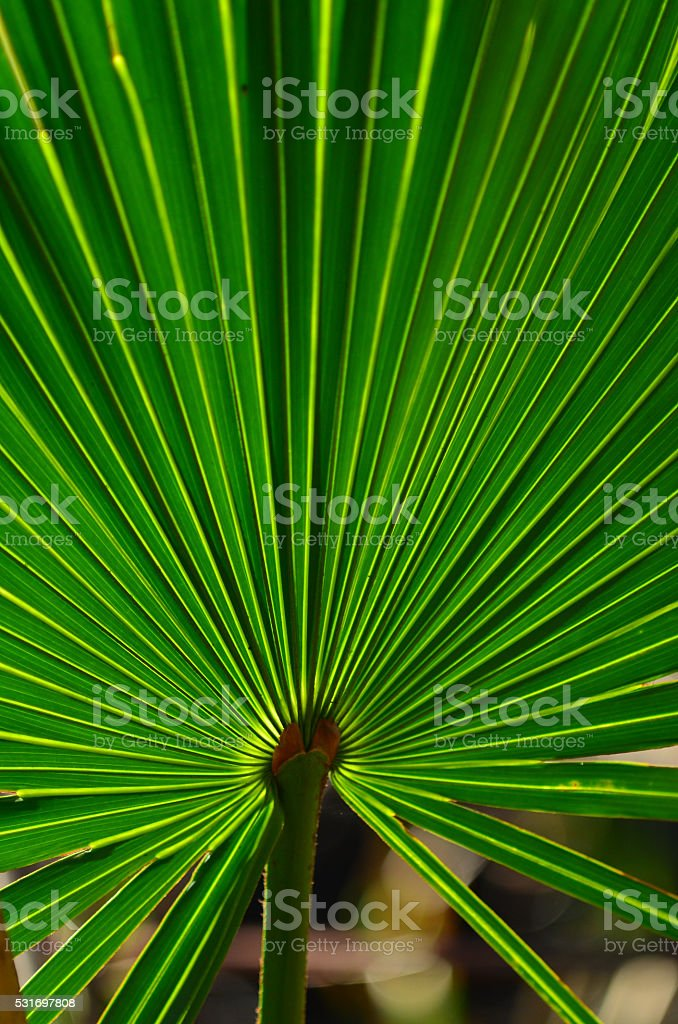 Backlit Saw palmetto leaf with starburst of light green lines stock photo