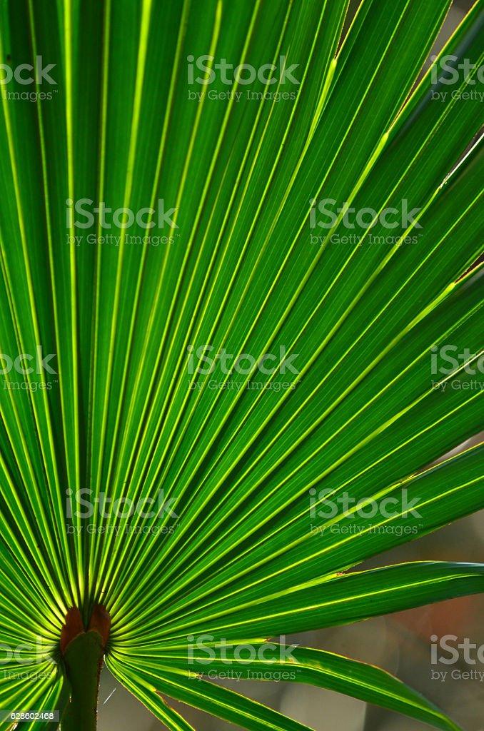Backlit saw palmettto frond's bright radiating ridges stock photo