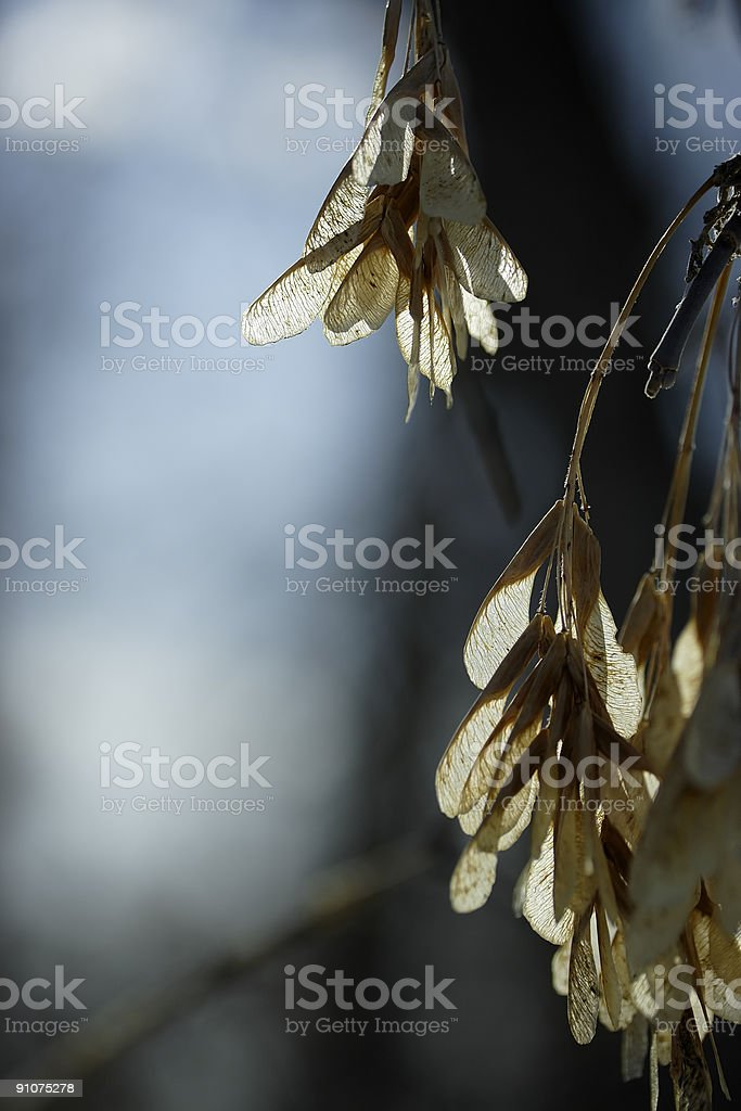Backlit Seeds royalty-free stock photo
