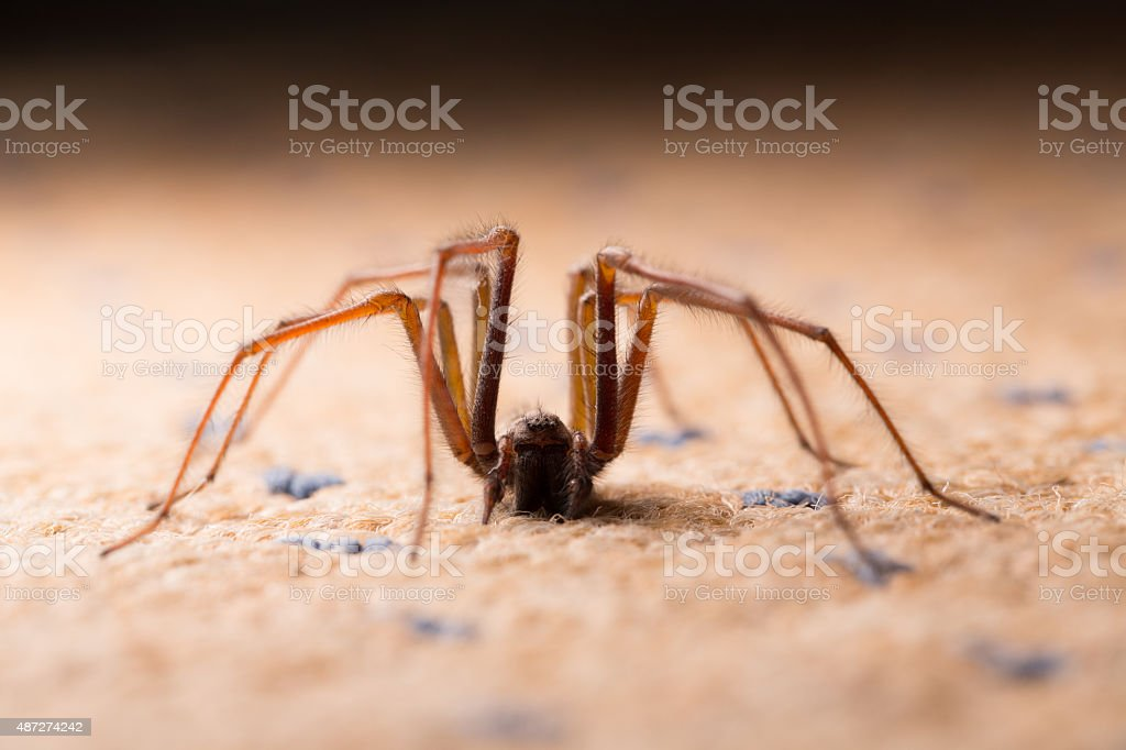 Backlit shot of a large House Spider. stock photo