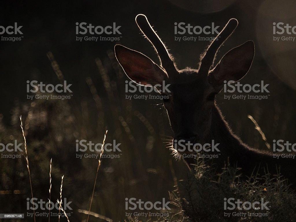 Backlit silhouette of a red deer Cervus elaphus (artistic picture) Lizenzfreies stock-foto
