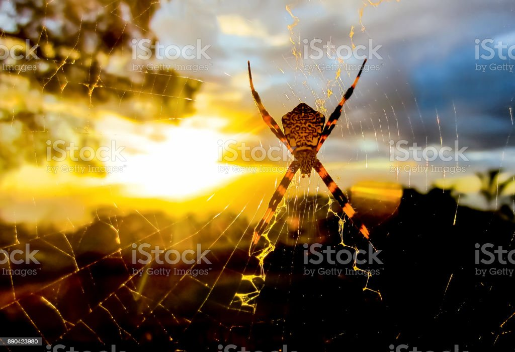 Backlit Spider Glows in Sunset Light in Web stock photo