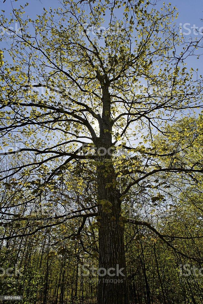 Backlit spring  maple tree royalty-free stock photo