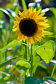 A blooming sunflower is backlit by bright sun on a hot, late summer afternoon in a rural garden.