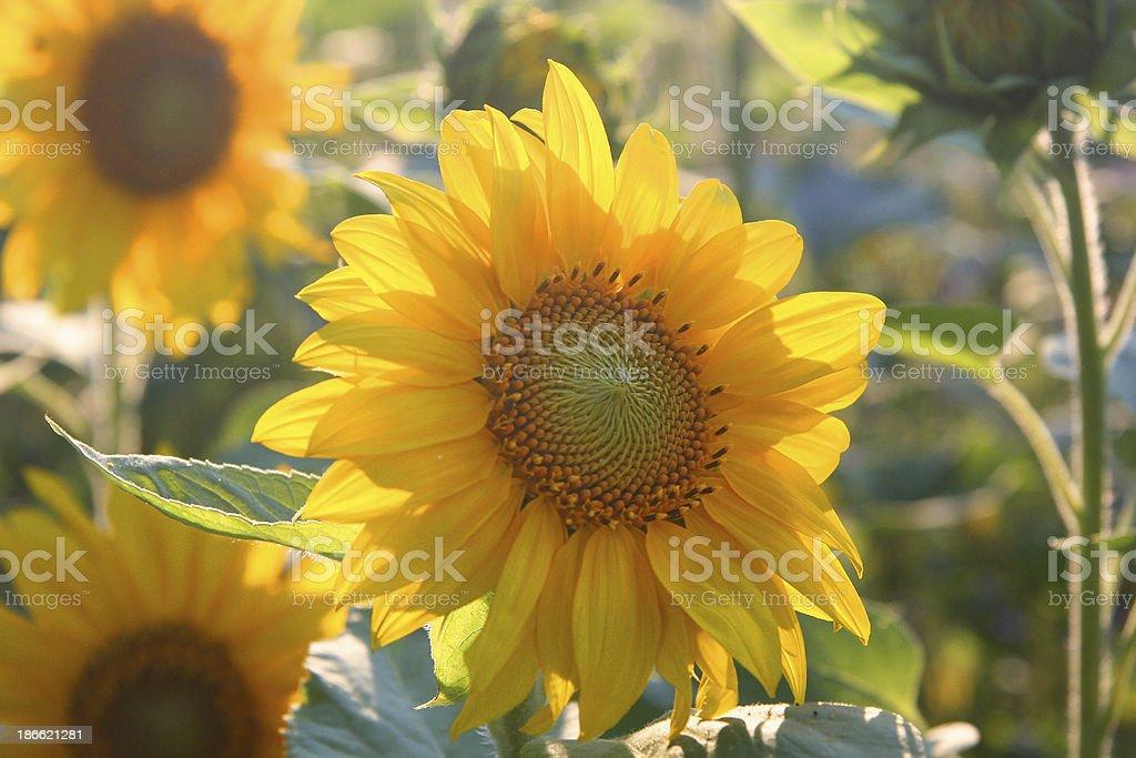 Backlit sunflowers royalty-free stock photo