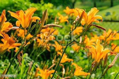 Backlit orange tiger lilies in a summer garden.