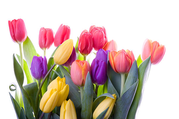 backlit tulips - spring stock photos and pictures