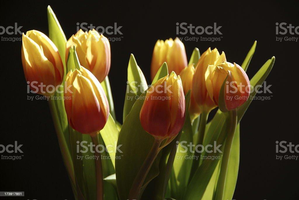Backlit Tulips stock photo