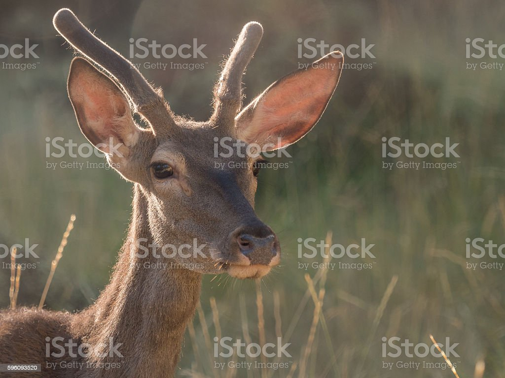 Backlit view of a red deer Cervus elaphus (artistic picture) royalty-free stock photo