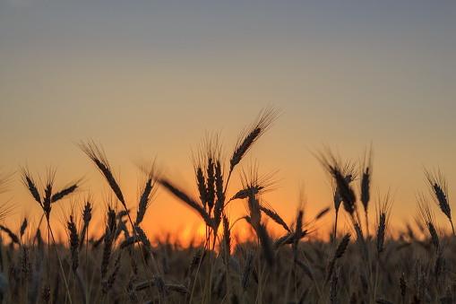 Backlit wheat plant in the field with the background in sunrise. Farm food concept