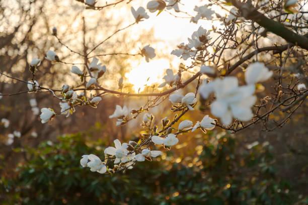 backlit white magnolia in spring at sunset. - magnolia стоковые фото и изображения
